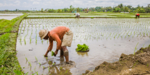 Planting rice in the fields of Bali