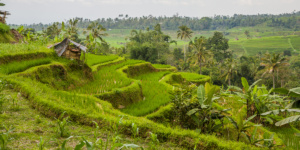 Traditional rice fields of Bali