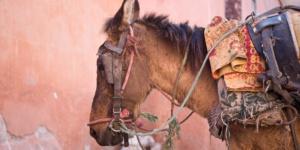Sad Donkey, Marrakech