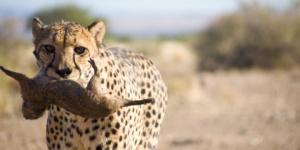 Cheetah - Keetmanshoop, Namibia