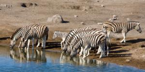 Zebras Etosha National Park, Namibia