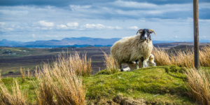 Blackhead sheep - Isle of Skye