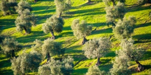 Olive trees - Andalusia