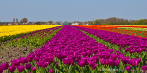 Tulip fields, Spring Holland