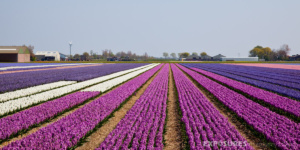 fields with hyacinths netherlands