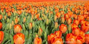 Orange Tulips, Alkmaar Holland