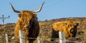 "Highland Cattle ""Kyloe"", Scotland"