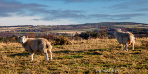Sheeps of Moray, Scotland