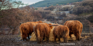 Cows near Dufftown, Scotland
