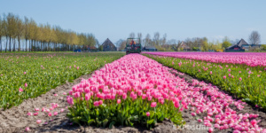 Tulips Opmeer Holland