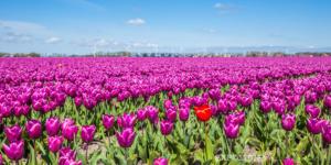 Tulips Oostwoud
