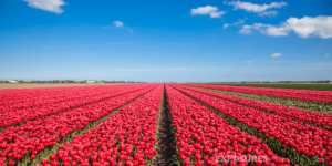 Tulips Alkmaar Holland